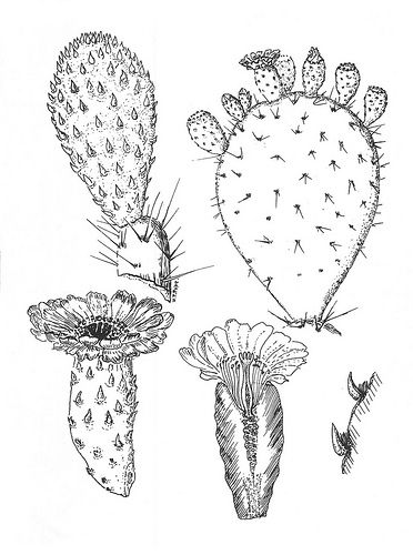 Opuntia Megacantha In 2020 Cactus Drawing Cactus Art Pear Drawing
