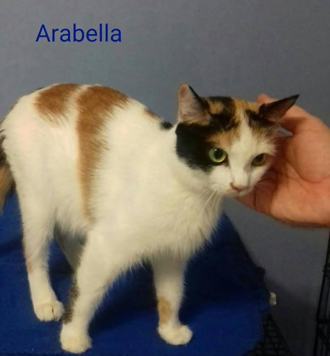 Arabella-rescued from Henry County Ac w/ her babies back in August--she is a young girl w/ a very sweet purrsonality who was front declawed. So someone cared MORE about their furniture than spaying her and when she turned up pregnant, they dumped the whole family at that high kill animal control. She will soon be available for adoption after she is fully vetted which includes combotested, spayed, up to date on all vaccinations, and microchipped