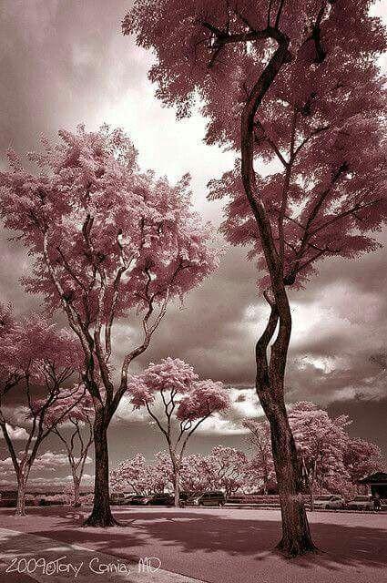 88ccee8fd7 dusky mauve I sötét mályva | Colourful I Színes | Pink trees, Pink ...