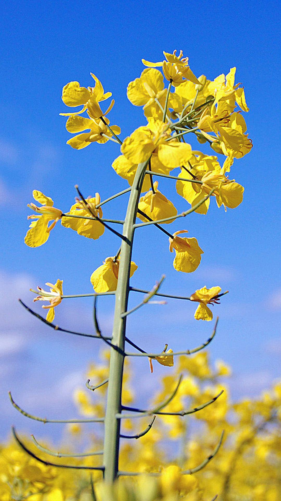 Canola Flower Macro F L O R A N A T U R E Pinterest Canola
