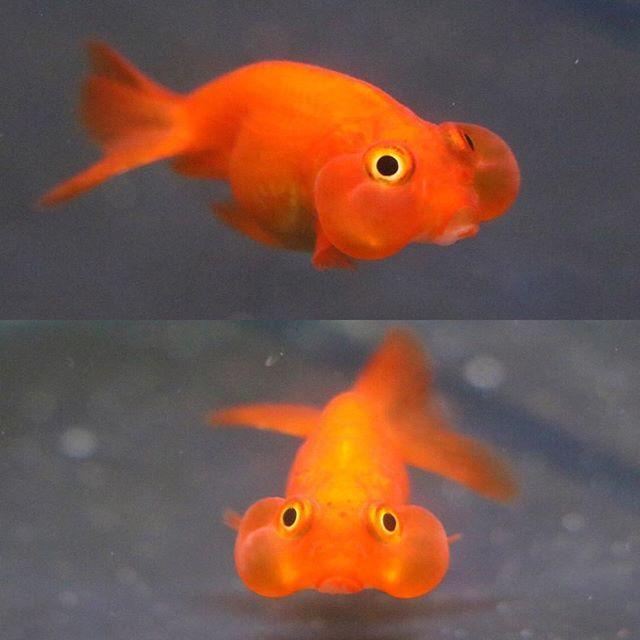 """【goldfish_angel33】さんのInstagramをピンしています。 《I named this bubbleeyes """"Pudding"""" 1.57inch 4㎝ この子はプリン ..."""