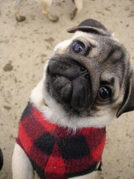 All I Want For Christmas Is A Sweet Baby Pug Cute Pugs Pugs