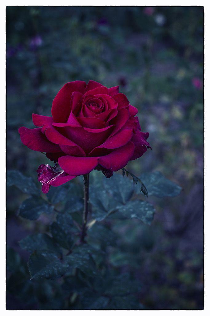 Let Freedom Ring Rose D800 111413 Moddsc 1328 12054 Hybrid Tea Roses Rose Let Freedom Ring