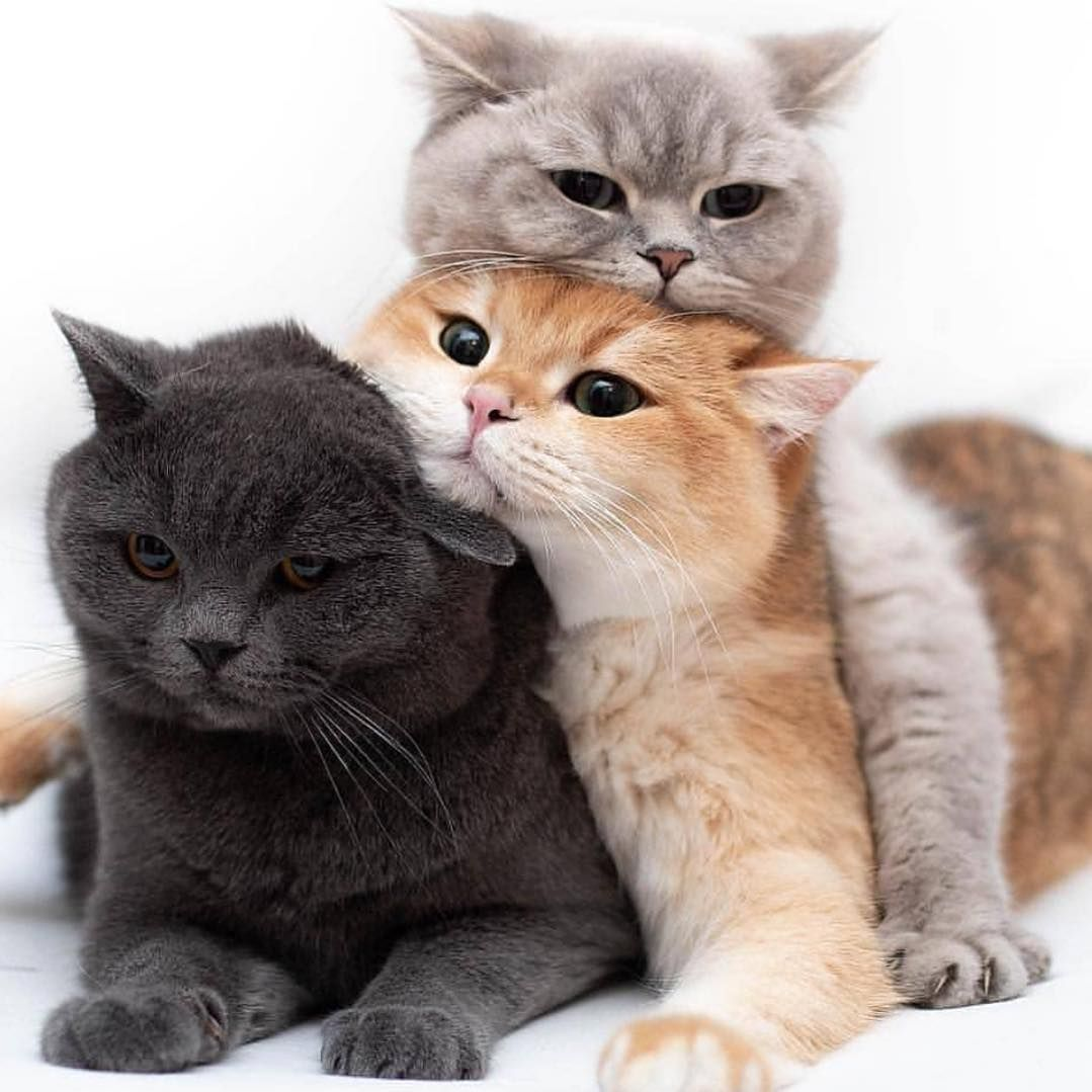 How To Breed Cats Information Advice Everything You Need To Know ล กแมว หมาแมว ร ปส ตว น าร ก