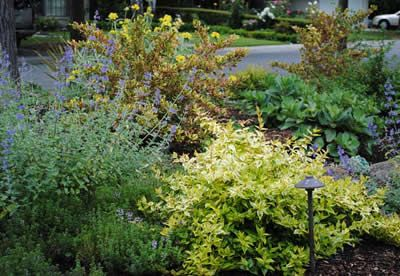 Lemon Lime Dwarf Abelia Abelia Grandiflora Lemon Lime 1 Gallon