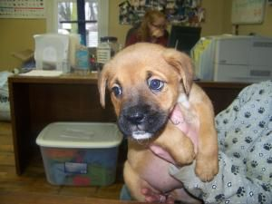 Miss Willow is an adoptable Boxer Dog in Anderson, IN.  Miss Willow is one of four boxer mix babies that are currently in foster care. She will be available as soon as she is spayed and is taking appl...