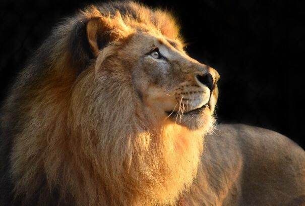 A Lion Doesn T Lose Sleep Over The Opinion Of Sheep Pic By