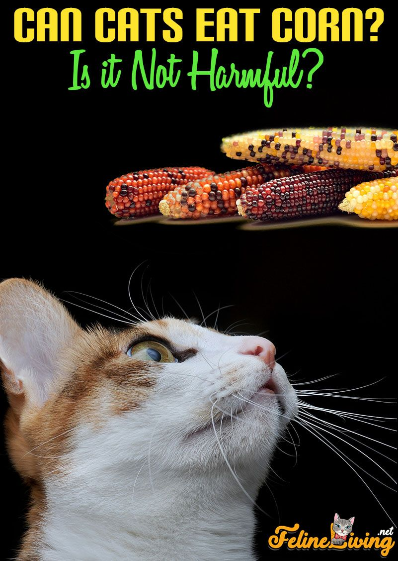 Corn is not dangerous for your feline, but should only be