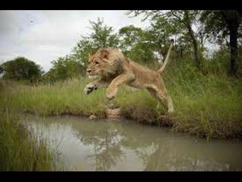 Swimming Lions Full Documentary NAT GEO