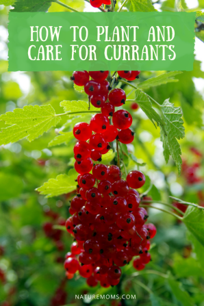 How to Grow and Care for Currant on the homestead and harvest delicious berries all summer long. They are perfect for eating or canning.