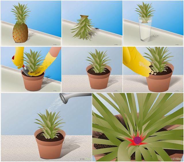 eine ananas selber z chten urban gardening pinterest z chten hausarbeit und pflanzen. Black Bedroom Furniture Sets. Home Design Ideas