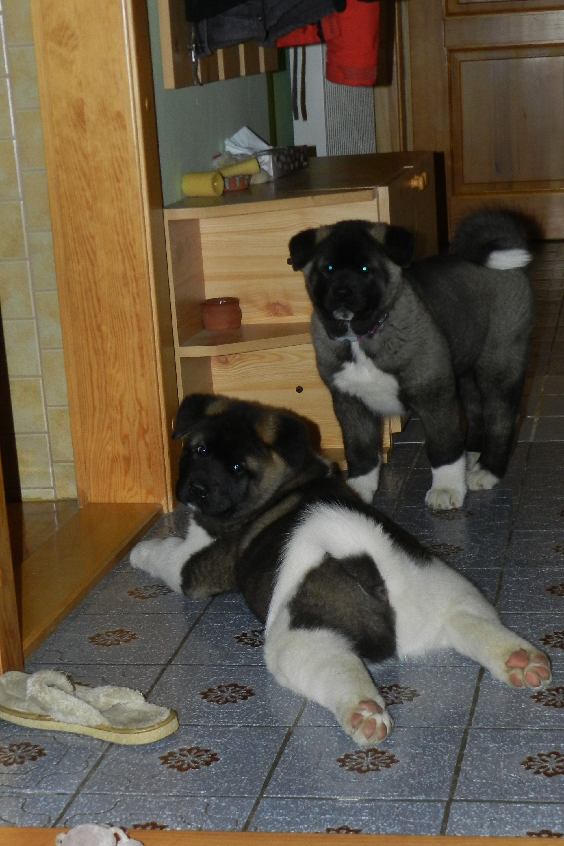 Bad Boys American Akita Puppies Inside The House American