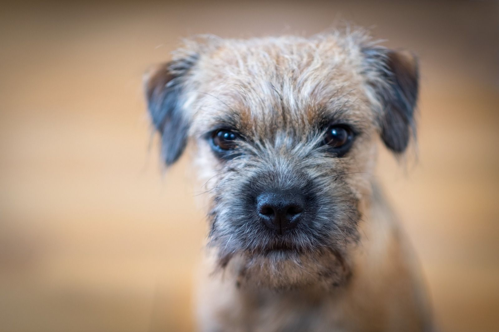 Adorable Border Terrier Piper 6 Months Old S Neilson With