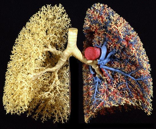 Cast Of Human Lungs Showing Blood Vessels On One Side