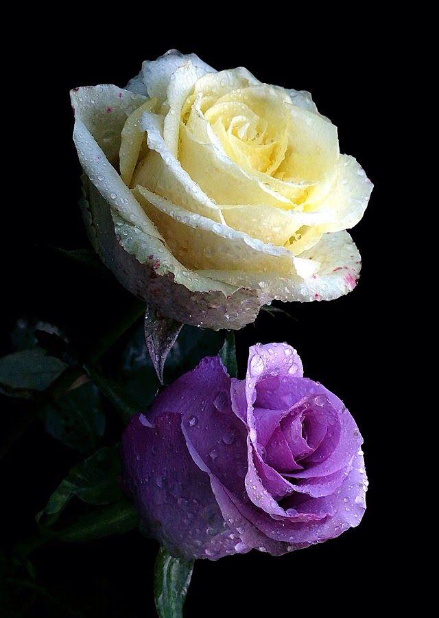 Bella rosas ~☆♡☆~