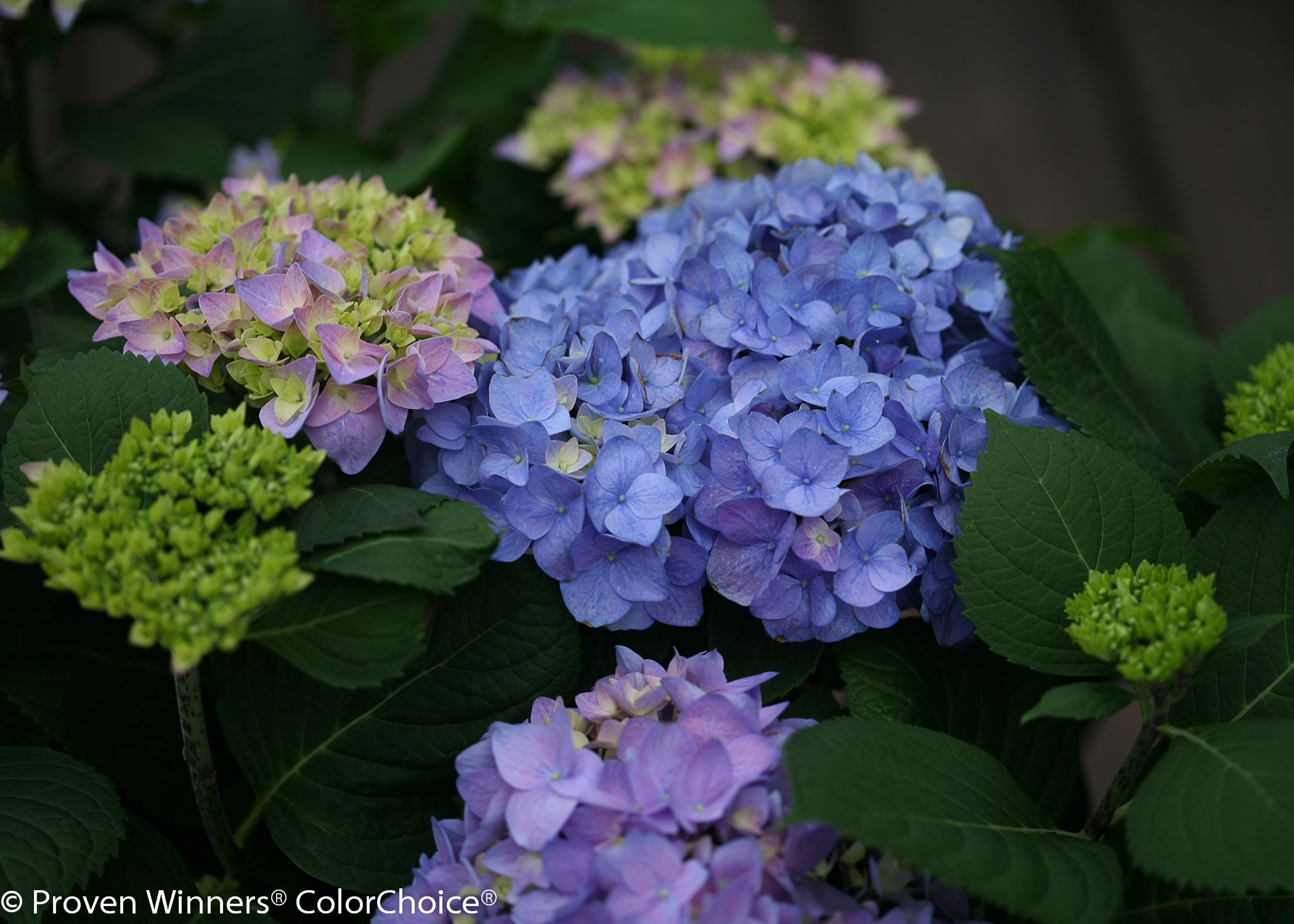 Lets dance rhythmic blue is a super hardy macrophylla with flowers lets dance rhythmic blue is a super hardy macrophylla with flowers that cover the izmirmasajfo Images