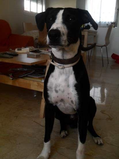 Hace 3 años que adoptamos a Ricky. Ahora tiene 4 años. Es un perro cariñoso, obediente y le queremos mucho y él a nosotros también.