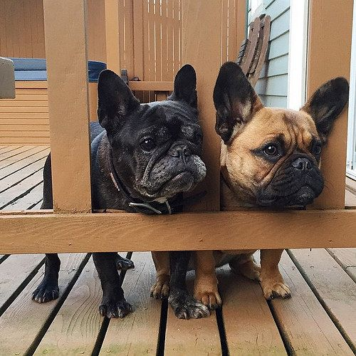 What Cuties! French Bulldogs.