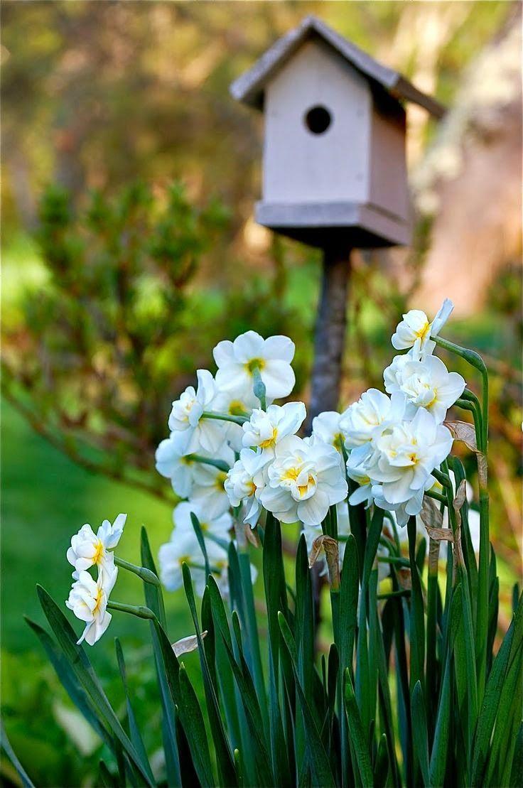 Daffodils....
