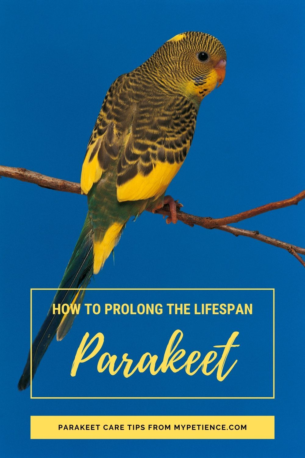 Pin On Parakeet Pet Parrot