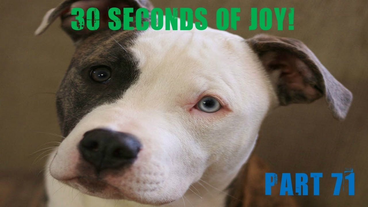 30 Seconds Of Joy Part 71 Dog Dreaming Pitbull Terrier