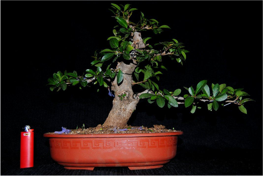 My progression in bonsai and information on