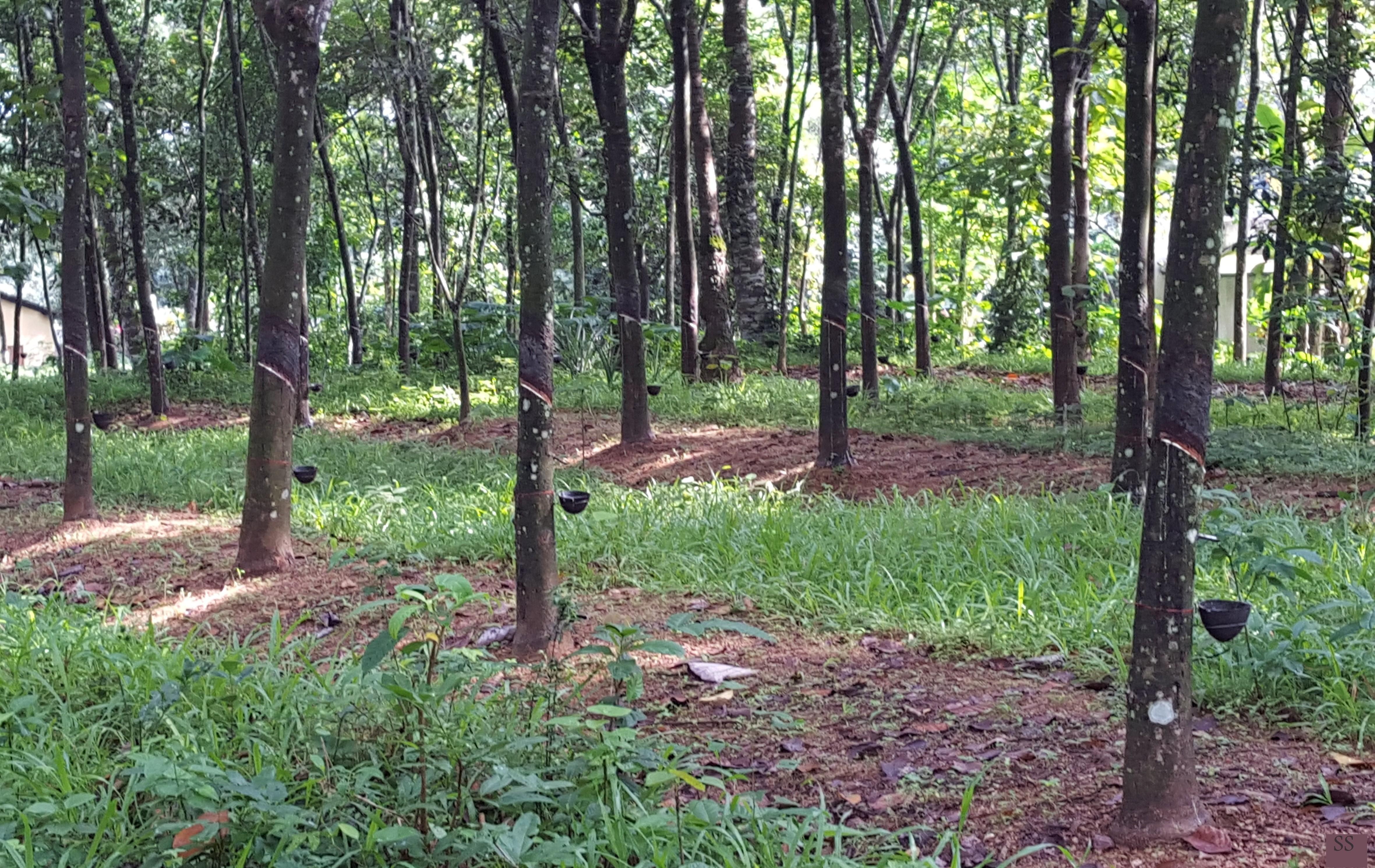 c570233fae8870 Rubber plantation