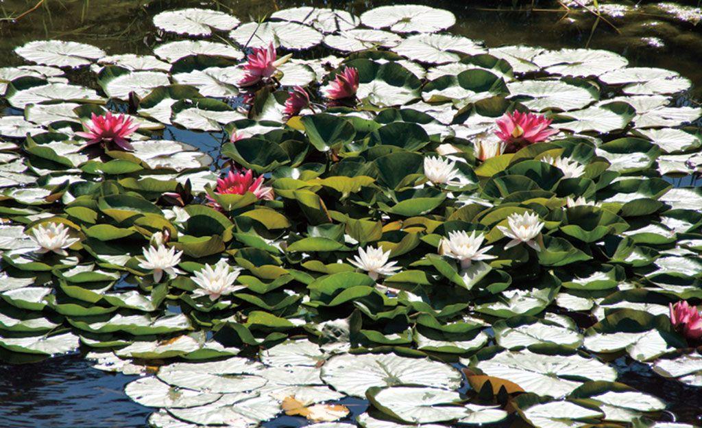 Auch die Pflanzen im #Teich brauchen pflege Wir geben Tipps - schone garten mit teich