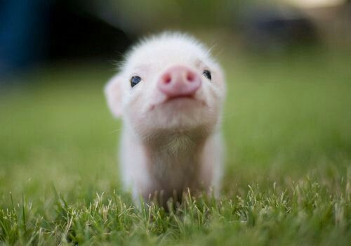 I reallly want a teacup pig exactly like this.  How amazing.