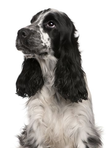 Pin by Roberto Reyes García on Dogs | English cocker ...