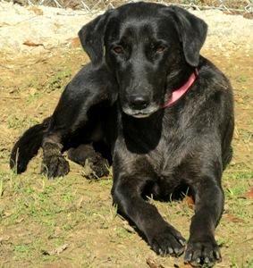 Adopt Margie 2 On Black Labrador Retriever Black Labrador