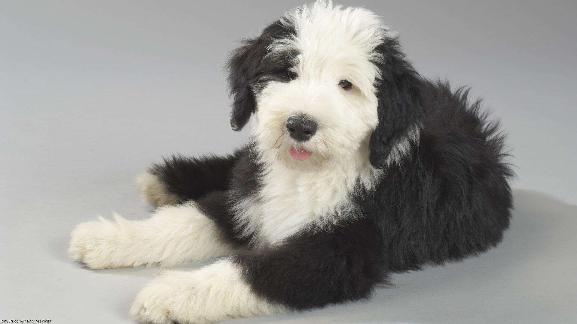Animaux Old English Sheepdog Chiot Chien Mignon