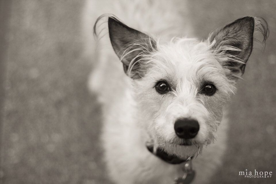 Wire hair fox terrier and Jack Russell mix | Mixed Breed Mania ...