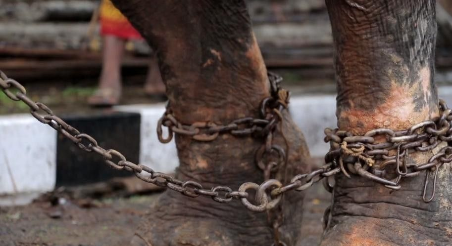 "The miserable lives of temple elephants is documented in ""Gods in Shackles"""