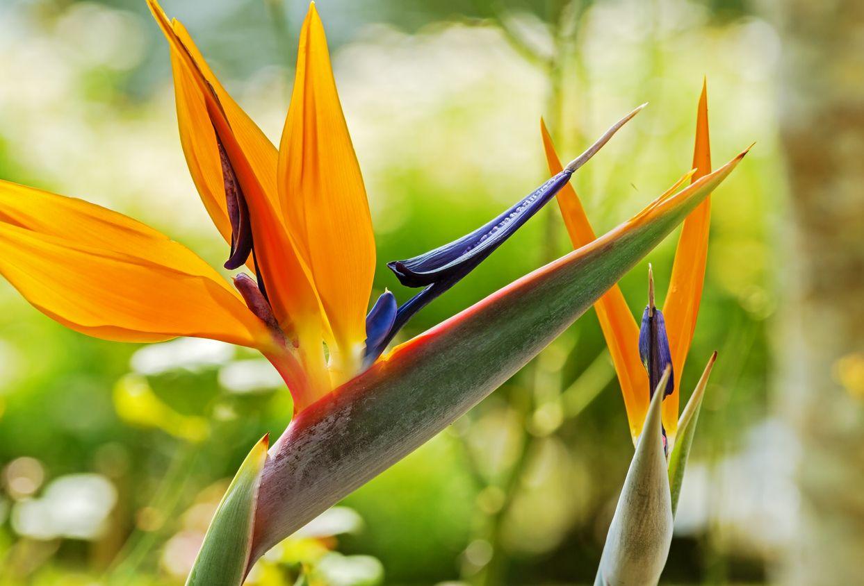 Strelitzia Bird Of Paradise Growing Conditions For Bird Of Paradise Flowers Birds Of Paradise Plant Paradise Plant Birds Of Paradise Flower