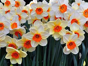 фото цветов нарциссы