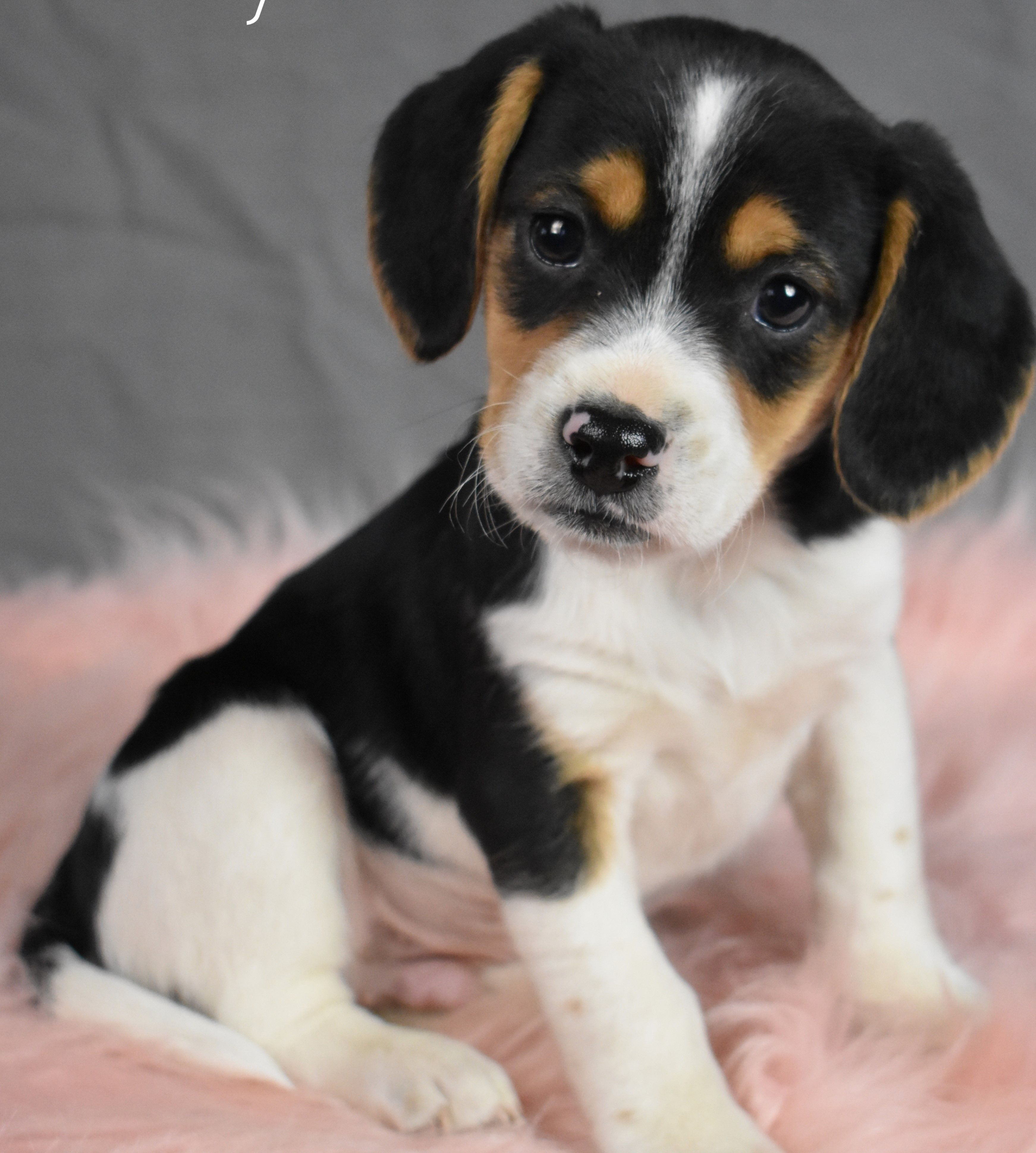 Puppies For Sale In 2020 Beagle Puppy Lancaster Puppies Dog Breeder