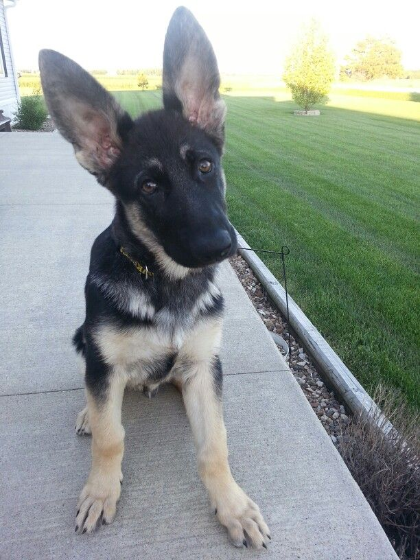 German shepard... those ears OMG German shepard puppies