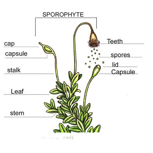 moss anatomy scientific diagram by lizzie harper natural ... moss spore diagram  #9