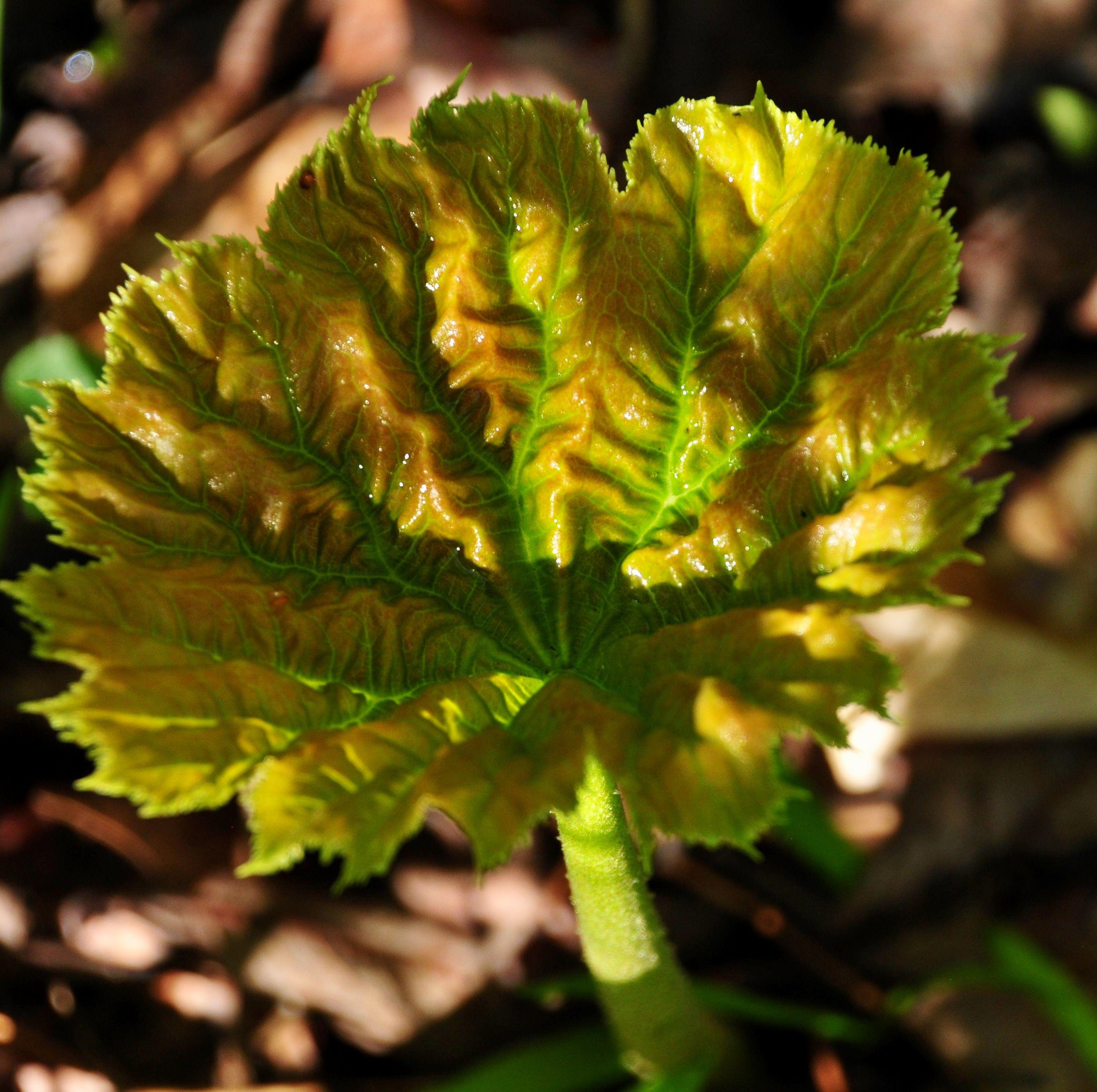 Astilboides tabularis plants garden paradise