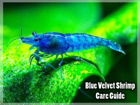 Dream Blue Velvet Shrimp Which Are A Variant Of The Ever Popular Red Cherry Shrimp Are Breathtakingly B Cherry Shrimp Red Cherry Shrimp Fresh Water Fish Tank