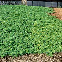 Myoporum Parvifolium Arizona