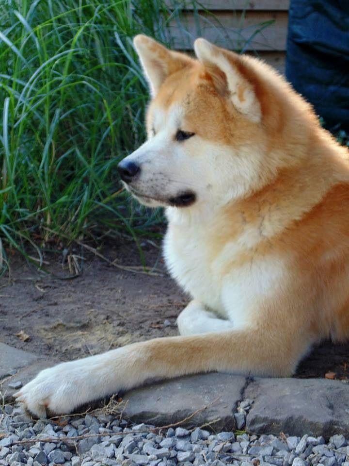 Akita Brown White Akita Dog Akita Puppies Akita
