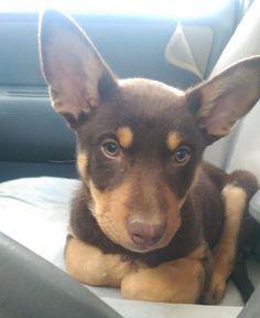 Australian Kelpie Charli 9 Weeks Old Australian Kelpie Dog