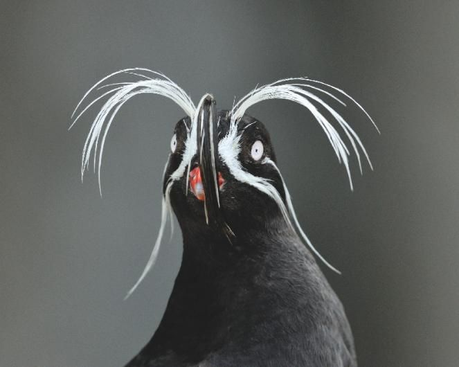 The whiskered auklet (Aethia pygmaea) uses the plumes on its head like a cat's whiskers to feel its way through dark crevices