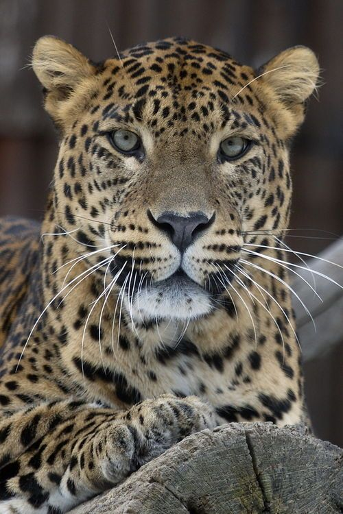 Love this leopard - and my Leopard, the great - once feral - cat!