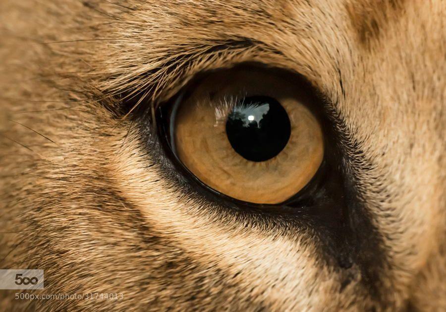 403 Forbidden Lion Eyes Eye Close Up Animal Close Up