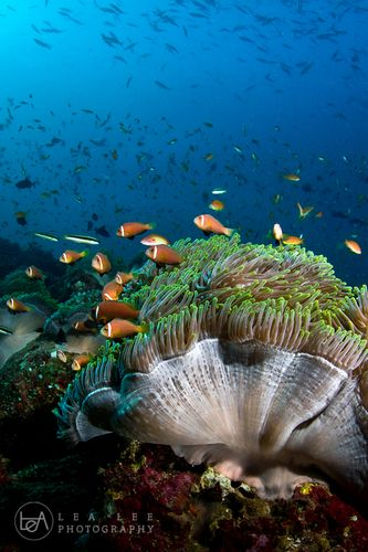 Full of anemone corals and clownfishes at Kandumo Kandu, Faafu Atoll, Maldives | Lea Lee via DivePhotoGuide