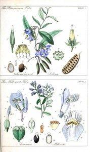 Botanical - Educational plate - Ladies botany 3