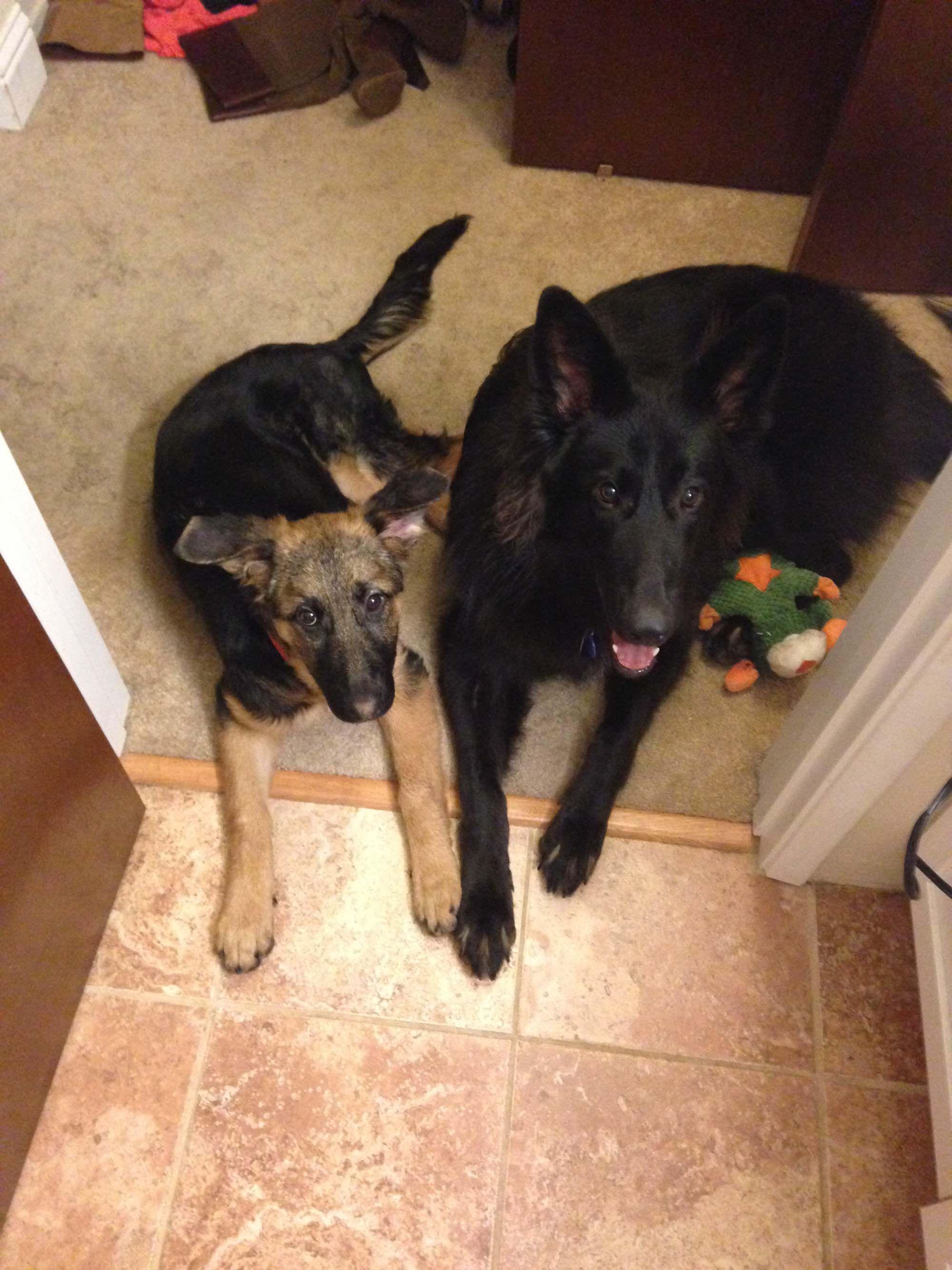 Pin On German Shepherd Dogs Of German Shepherd Rescue Of Northern California